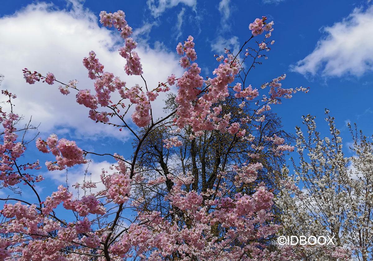 telechargement gratuit de cerisiers